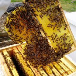 Tzw. ramka pracy umożliwiająca obserwację stanu rodziny pszczelej