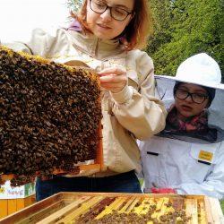 Pszczoły obsiadając ramkę ogrzewają znajdujący się w komórkach czerw (larwy)