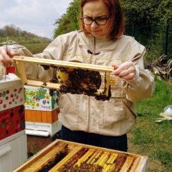 Pszczoły zajęte są pracą i nie atakują pszczelarza