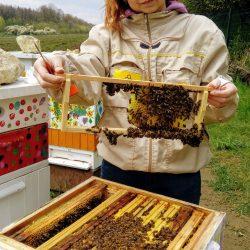 Ramka pracy - tutaj pszczoły zbudują komórki trutowe, z których wylęgną się samce