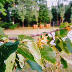 Głównym punktem programu będzie sadzenie lip miododajnych