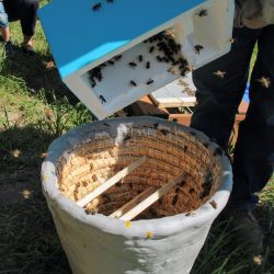 Przesypanie pszczół z ulika weselnego