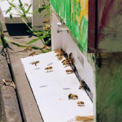 Pszczoły noszą nektar