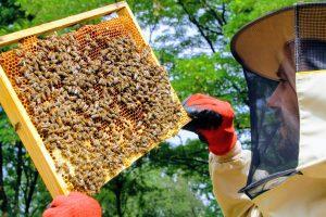 Szukamy nowej matki pszczelej na ramkach i sprawdzamy czy rozpoczęła już składanie jaj