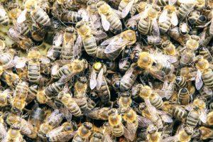 Matka pszczela ze świtą
