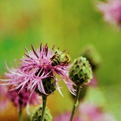 Pszczoły bez przerwy zapylają okoliczne rośliny