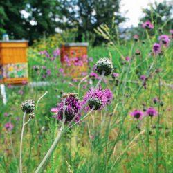 Teren pasieki wzbogaci się o nowe rośliny miododajne