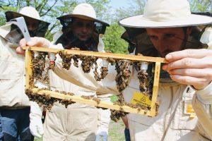 Prowadzimy warsztaty z hodowli i poddawania matek pszczelich