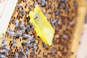 POddawanie nowej matki pszczelej