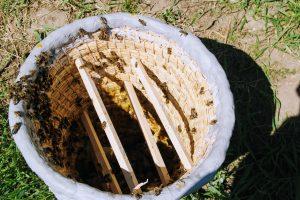 Kószka zasiedlona pszczołami