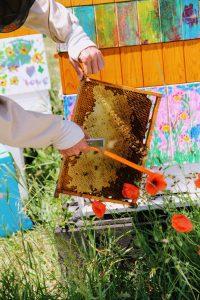 Zmiatamy pszczoły i zabieramy ramki z miodem