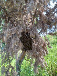 rojenie się pszczół