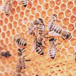 skrzydła pszczoły
